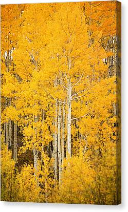 Yellow Aspens Canvas Print by Ron Dahlquist - Printscapes
