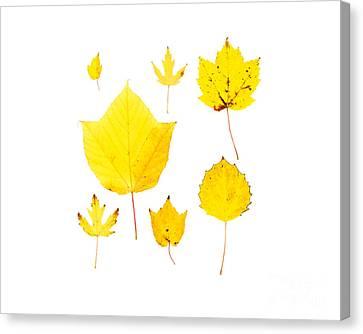 Yellow Autumn Leaves Canvas Print