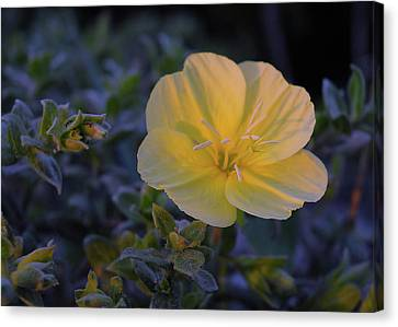 Canvas Print featuring the photograph Yellow Beach Evening Primrose by Marie Hicks