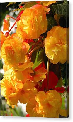 Yellow Begonia Flowers.  Victoria Canvas Print by Darlyne A. Murawski