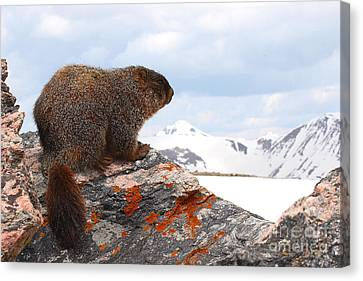 Yellow-bellied Marmot Enjoying The Mountain View Canvas Print by Max Allen