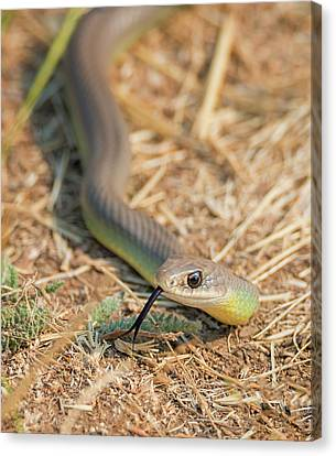 Wild Racers Canvas Print - Yellow Bellied Racer by Loree Johnson