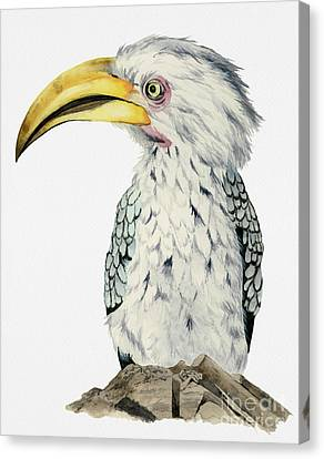 Yellow-billed Hornbill Watercolor Painting Canvas Print by NamiBear