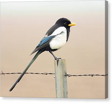 Yellow-billed Magpie Canvas Print by Wingsdomain Art and Photography