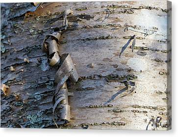 Canvas Print featuring the photograph Yellow Birch Details by Andrew Pacheco