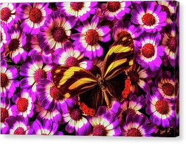 Yellow Black Butterfly On Pericallis Canvas Print by Garry Gay