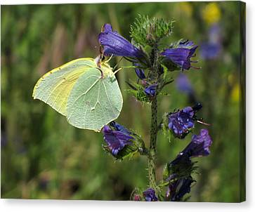 Canvas Print featuring the photograph Yellow Brimstone Butterfly  by Jacqi Elmslie