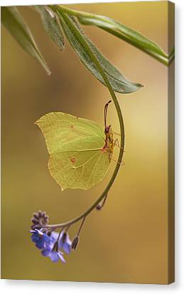 Yellow Butterfly On Blue Forget-me-not Flowers Canvas Print