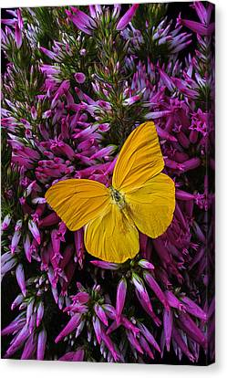 Yellow Butterfly On Italian Ventricosa Canvas Print by Garry Gay