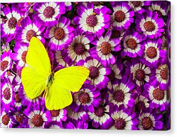 Yellow Butterfly On Pericallis Flowers Canvas Print by Garry Gay