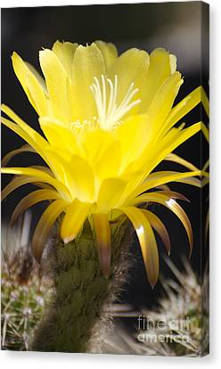 Yellow Cactus Flower Canvas Print by Jim and Emily Bush