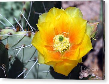 Yellow Cactus Flower Canvas Print