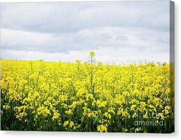 Canvas Print featuring the photograph Yellow Canopies by Ivy Ho