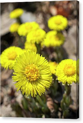 Canvas Print featuring the photograph Yellow Coltsfoot Flowers by Christina Rollo