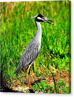 Yellow Crested Night Heron Catches A Fiddler Crab Canvas Print by Barbara Bowen