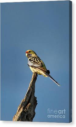 Canvas Print featuring the photograph Yellow Crimson Rosella by Douglas Barnard