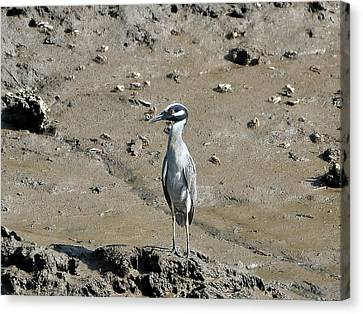 Yellow-crowned Night-heron Canvas Print by Al Powell Photography USA