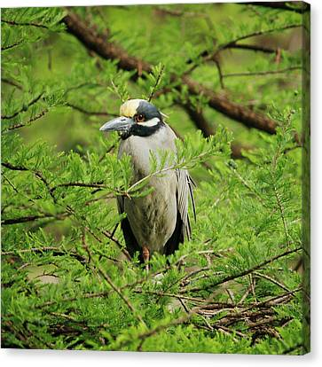 Yellow-crowned Night Heron Canvas Print by Art Block Collections