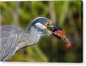 Yellow Crowned Night Heron Goes Crawfishing Canvas Print by Bonnie Barry