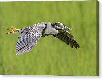 Birds In Flight At Night Canvas Print - Yellow-crowned Night-heron In Flight by Morris Finkelstein