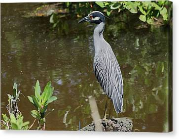 Yellow-crowned Night Heron Perched Canvas Print by Debra Larabee