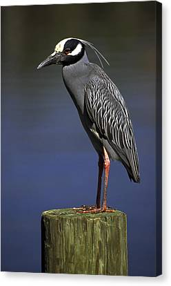Yellow-crowned Night Heron Canvas Print by Sally Weigand