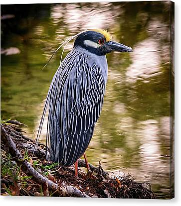 Canvas Print featuring the photograph Yellow-crowned Night-heron by Steven Sparks