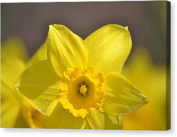 Yellow Daffodil Flower Canvas Print by P S