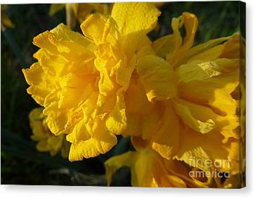 Yellow Daffodils Canvas Print by Jean Bernard Roussilhe
