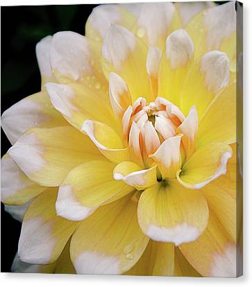 Canvas Print featuring the photograph Yellow Dahlia White Tipped by Julie Palencia