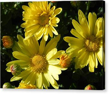 Yellow Daisies Canvas Print by John Parry