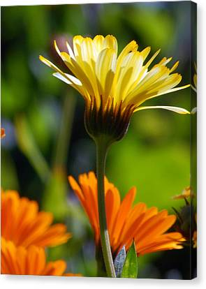 Yellow Daisy Canvas Print by Amy Fose