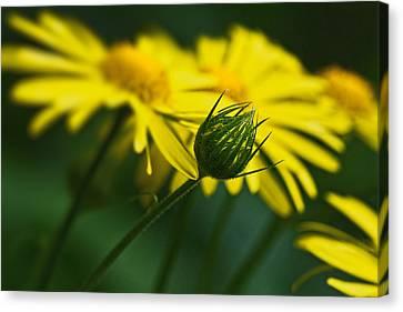 Yellow Daisy Bud Canvas Print