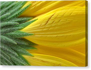 Yellow Daisy Macro Canvas Print