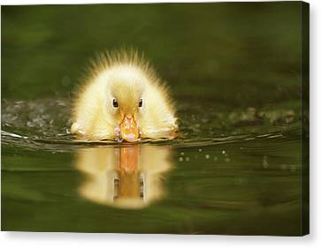 Ducklings Canvas Print - Yellow Ducking -narcissus II by Roeselien Raimond
