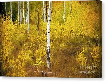 Canvas Print featuring the photograph Yellow Fall Aspen by Craig J Satterlee