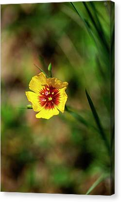 Yellow Flax Canvas Print by Bill Morgenstern