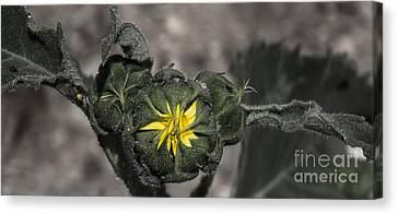 Yellow Flower 3 Canvas Print