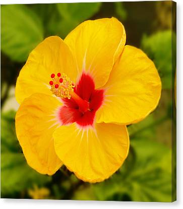 Yellow Hibiscus Canvas Print by Mike McGlothlen