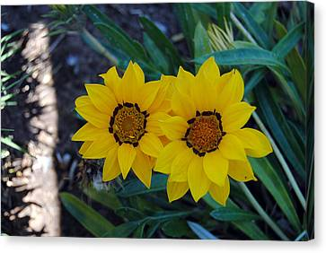 Gazania Rigens - Treasure Flower Canvas Print