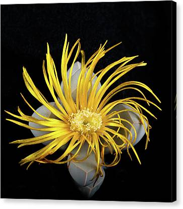 Canvas Print featuring the photograph Yellow Follower  by Catherine Lau