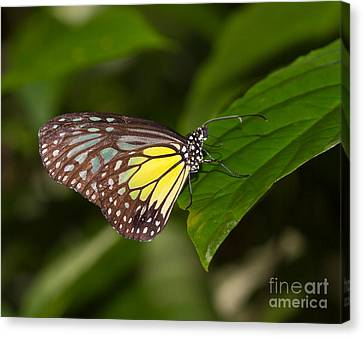 Yellow Glassy Tiger Butterfly Canvas Print by Louise Heusinkveld