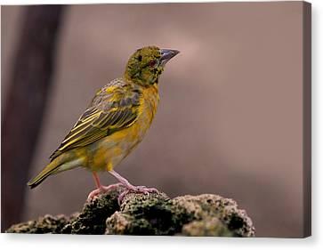 Yellow Canvas Print - Yellow-green Vireo by Rona Black