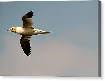 Yellow Headed Gull In Flight Canvas Print