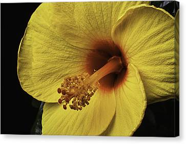 Yellow Hibiscus Canvas Print by Garry Gay