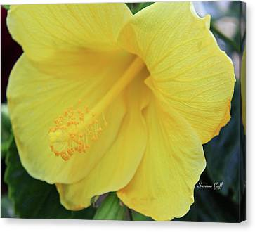 Yellow Hibiscus Canvas Print by Suzanne Gaff
