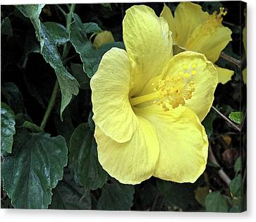 Leaves Canvas Print - Yellow Hibiscus Watercolor by Aimee L Maher Photography and Art Visit ALMGallerydotcom
