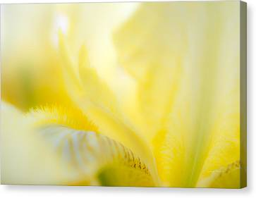 Yellow Iris 2 Canvas Print