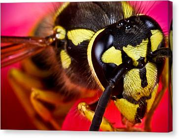 Yellow Jacket Canvas Print by Ryan Kelly