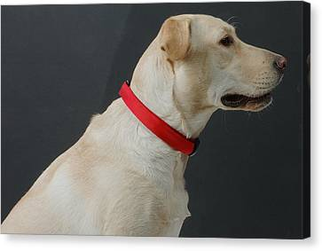 Yellow Lab Canvas Print by Jerry McElroy